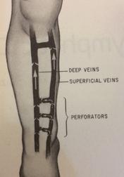 Venous System Leg